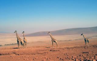 Giraffen (Ngorongoro)