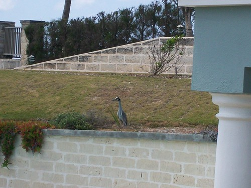 Catching a heron resting on a ledge in the backyard.