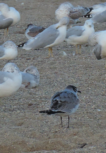 Franklin's Gulls, East Fork 10/20/2013