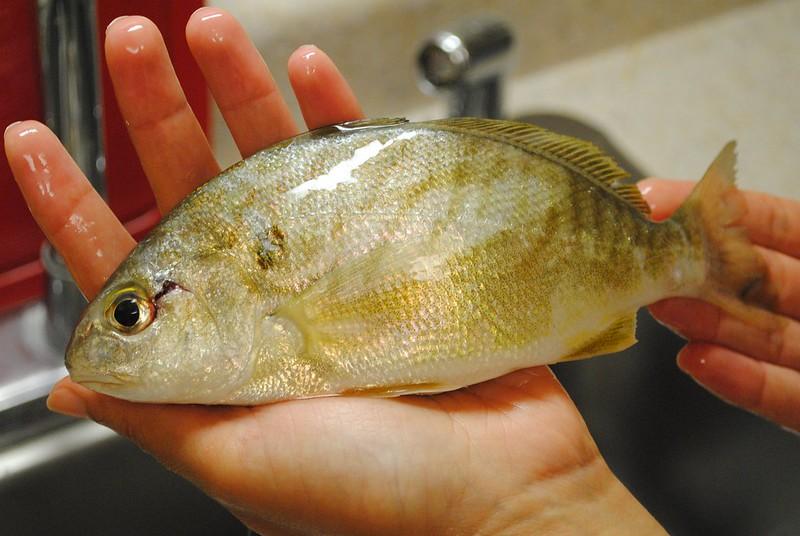 Spot (Leiostomus xanthurus, рыба-пятно)