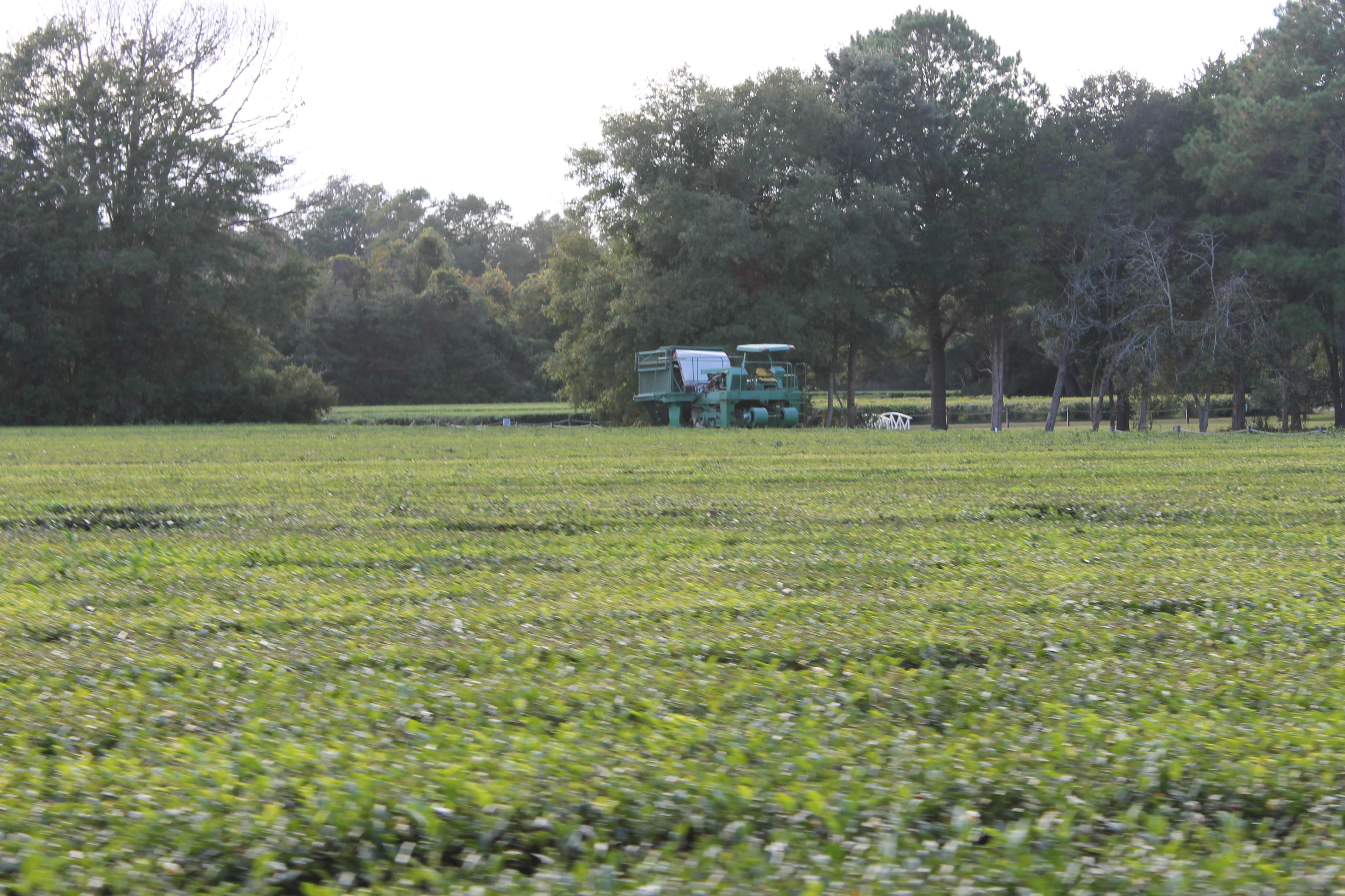 Visit to the Charleston Tea Plantation (Wadmalaw Island, S ...