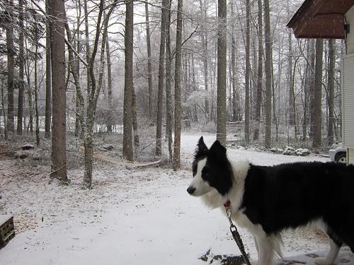庭に降る雪とランディ 2013年11月15日9:38 by Poran111