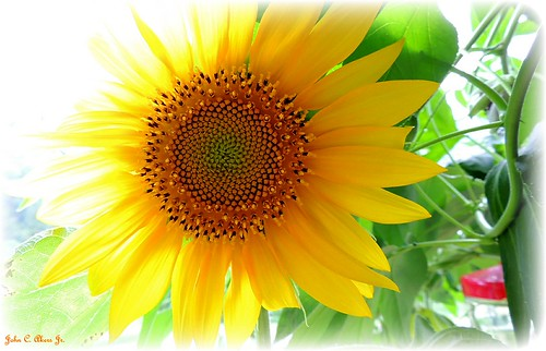 "Sunflower-""rembering summer"""