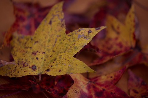 autumn trees macro fall leaves closeup canon backyard texas outdoor lumberton