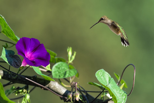 Hummingbird and Morning Glory_DSC3820