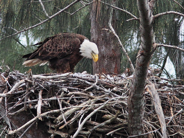 Bald Eagle female at nest 20140121