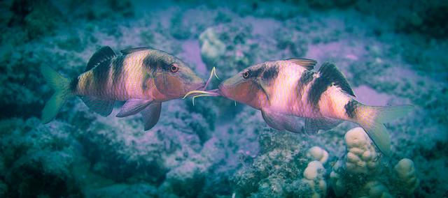 Manybar Goatfish face off (Parupeneus multifasciatus)
