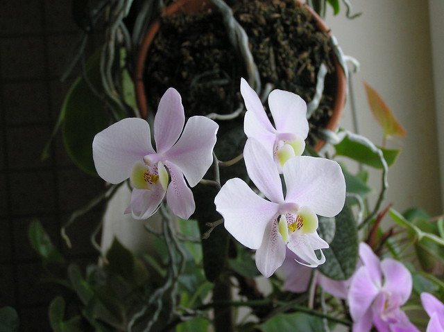 Phalaenopsis 'Philishill'