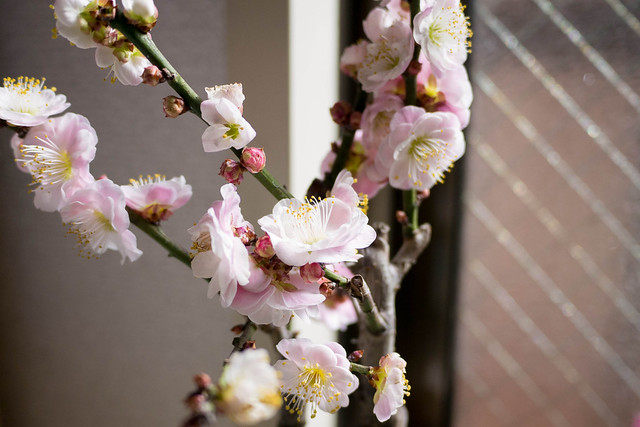 Plum full bloom