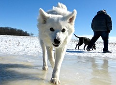 west siberian laika(0.0), czechoslovakian wolfdog(0.0), gray wolf(0.0), wolfdog(0.0), saarloos wolfdog(0.0), animal(1.0), dog(1.0), hokkaido(1.0), winter(1.0), snow(1.0), pet(1.0), mammal(1.0), greenland dog(1.0), korean jindo dog(1.0), samoyed(1.0),