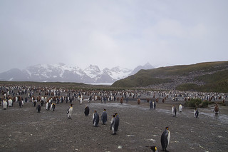 608 Koningspinguins
