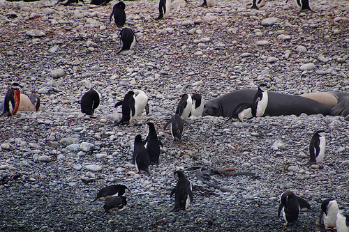 559 Kinbandpinguins