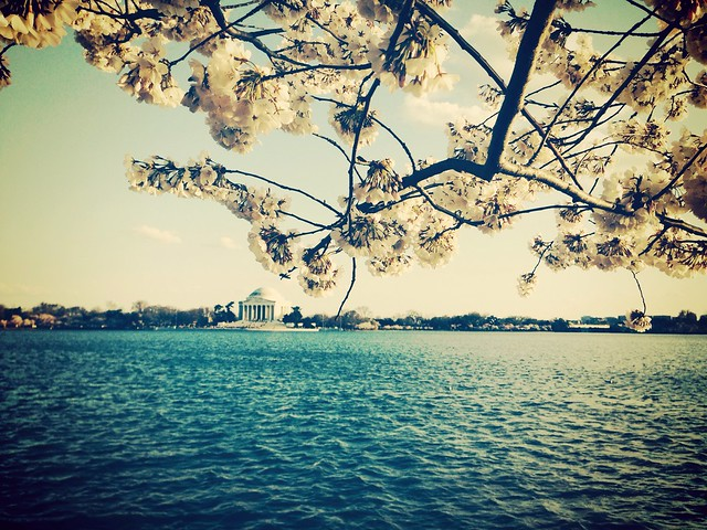 Cherry blossoms blooming on the Tidal Basin.