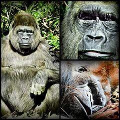 Gorilla Collage