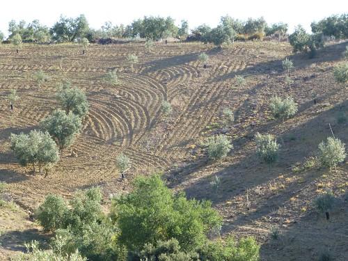 Cortijo Rosario: ploughing pattern in olive field