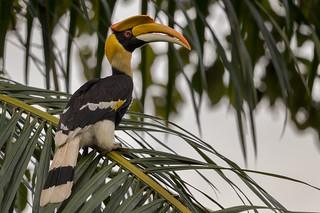 Great Hornbill | Buceros bicornis | Enggang Papan at Tasik Kenyir