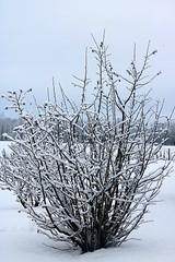 Snow Covering Corkscrew Hazel Shrub