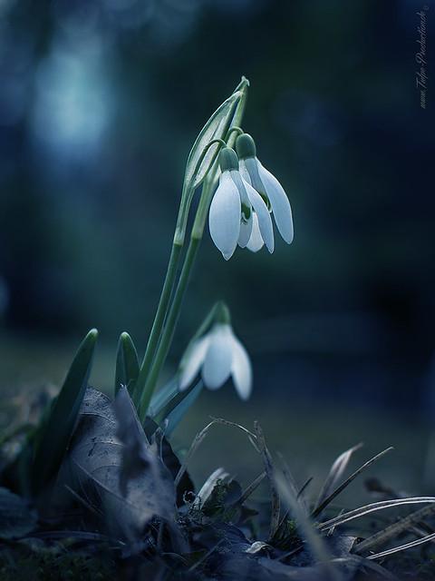 Snowdrop - Schneeglöchchen