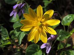 Ficaria verna (Ranunculus ficaria)