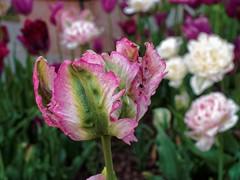 Tulips at United States Botanic Garden - Washington, DC