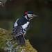 Woody by Martyn William's Birds