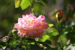 Ο Απρίλης με τα λούλουδα και ο Μάης με τα ρόδα.   #may #rose