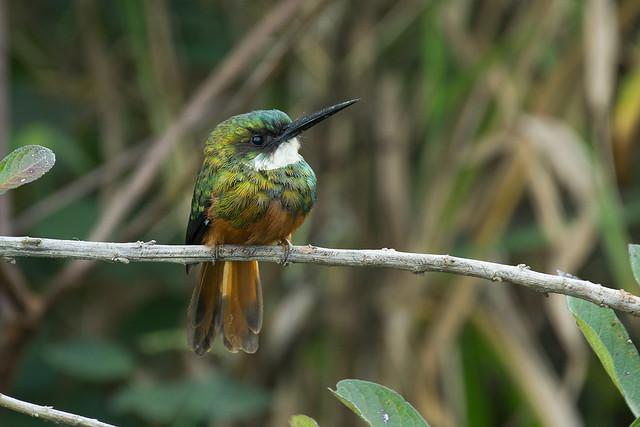 Rufous-tailed Jacamar (Galbula ruficauda) - male