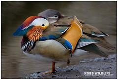 Mandarin Duck 041213-9896-W.jpg