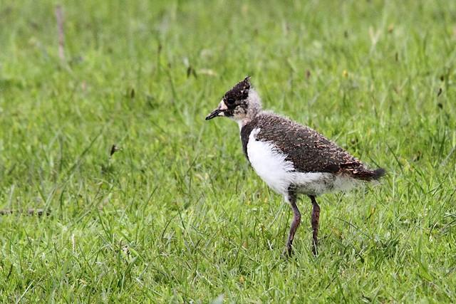 Lapwing chick, Baildon Moor