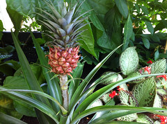 produce(0.0), food(0.0), bromeliaceae(1.0), pineapple(1.0), flower(1.0), plant(1.0), flora(1.0),
