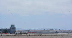 Least Terns above nesting site at Alameda Point
