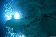 rays and skates(0.0), deep sea fish(0.0), stingray(0.0), manta ray(0.0), reef(0.0), tiger shark(0.0), animal(1.0), fish(1.0), shark(1.0), ocean(1.0), marine biology(1.0), underwater(1.0), blue(1.0),