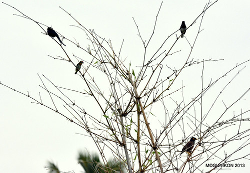 Drongo + Coppersmith Barbet + Magpie Robin + Myna = Sunday Frame! by McGun