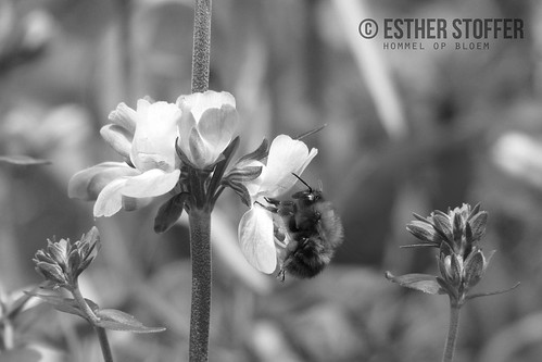 Hommel op bloem zwart wit / Bumblebee on a flower in black and white