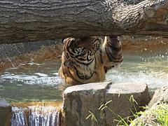 Siberian Tiger 08-28-2008 9