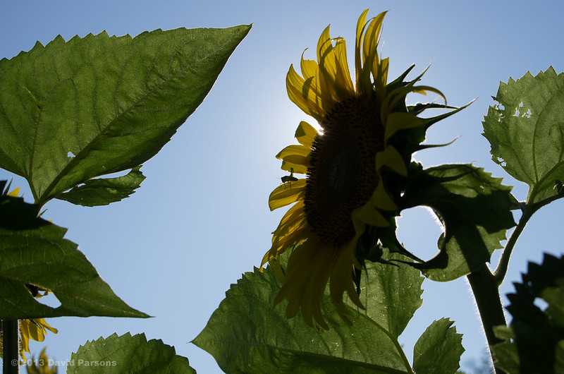 Buttonwood Sunflowers