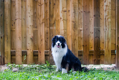 Kooper and the new fence - #192/365 by PJMixer