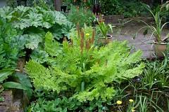 Osmundaceae