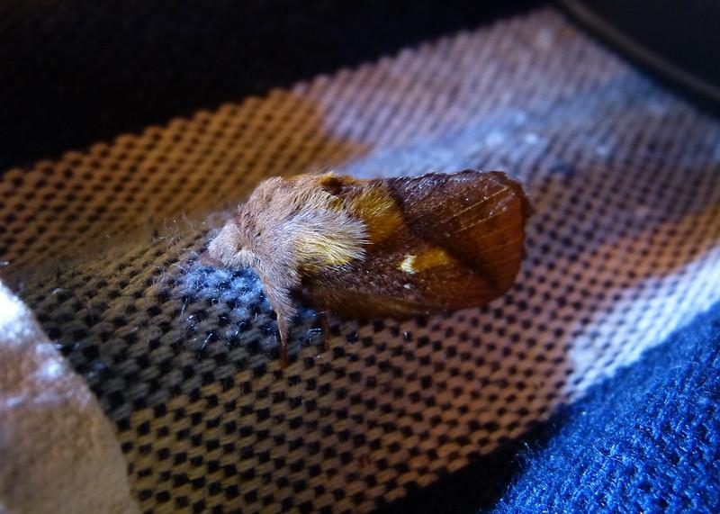 P1050785 - Drinker Moth, Isle of Mull