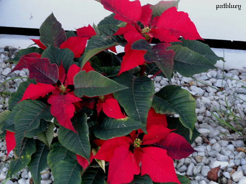 A Poinsettia Native to Mexico and Central America. It is particularly well known for its red and green foliage