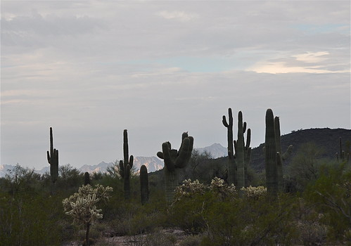 arizona cactus nature cacti landscape nationalpark earlymorning organpipecactusnationalpark