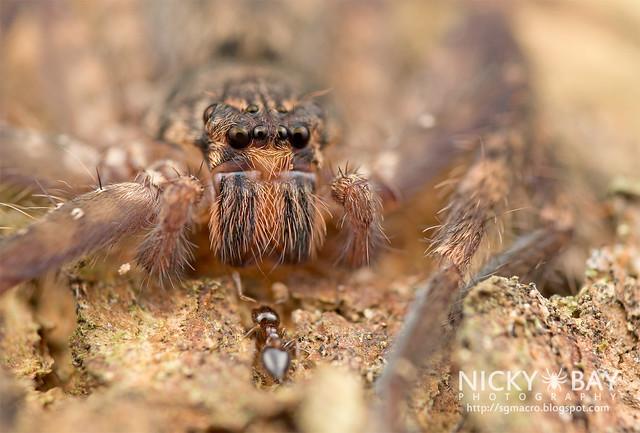 Huntsman Spider (Heteropoda lunula?) - DSC_1711