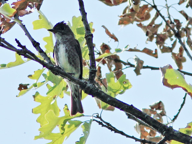 Olive-sided Flycatcher 20130815