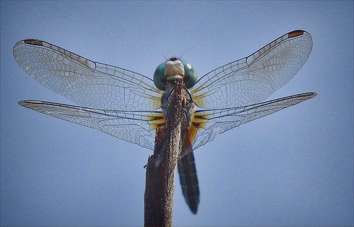 Dragonfly Glamour Shots