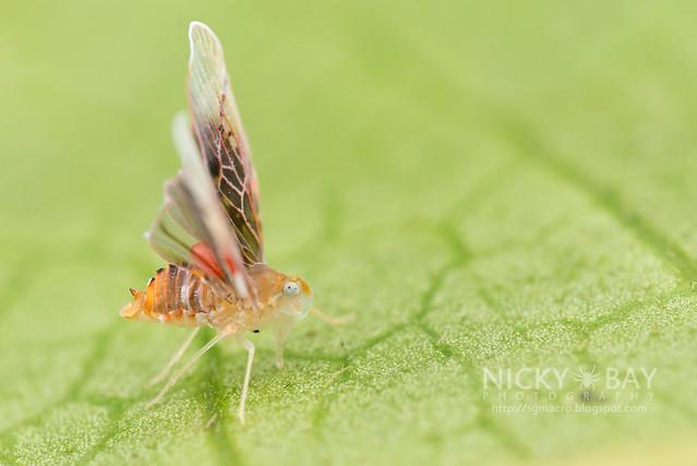 Derbid Planthopper (Derbidae) - DSC_3257