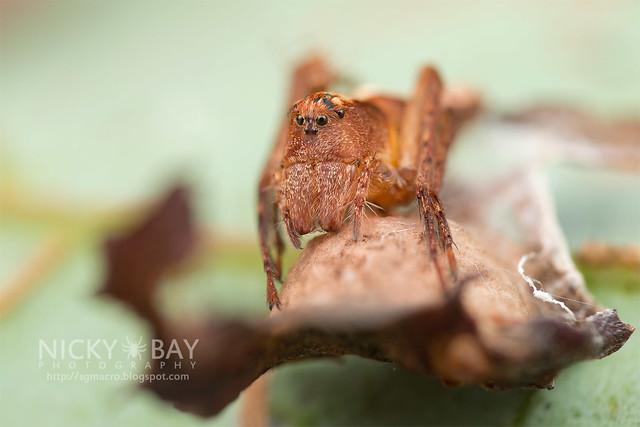 Lynx Spider (Hamataliwa sp.) - DSC_3279