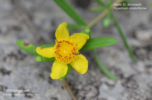 Glade St. John's Wort - Hypericum dolabriforme by USWildflowers, on Flickr