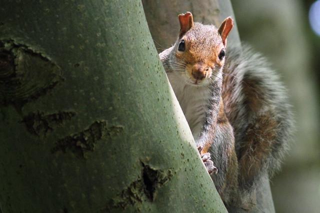 Squirrel, Roberts Park, Baildon