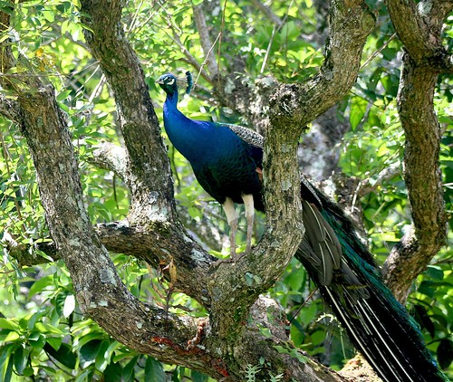 PERCHED PEACOCK
