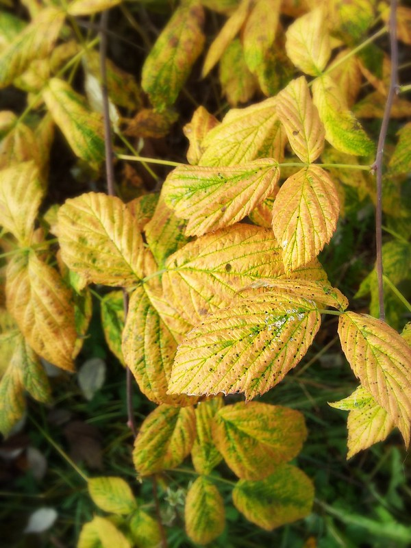 Autumn 2013 - yellow leaves